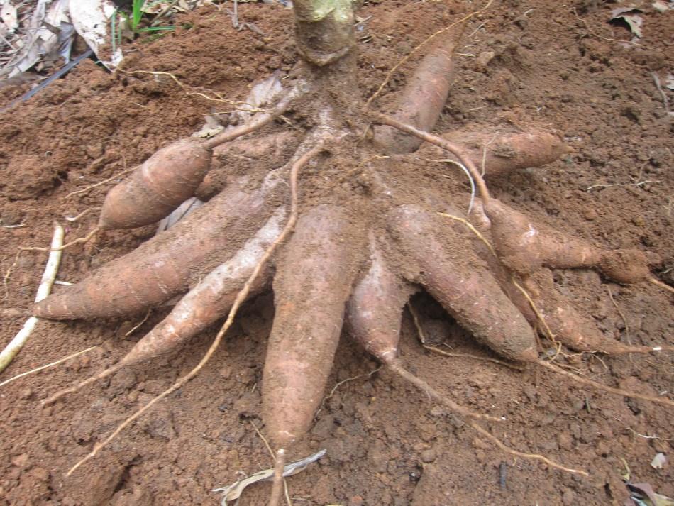 Tubercule de manioc
