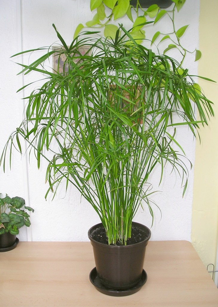 Cyperus alternifolius 'Gracilis' dans un pot noir.