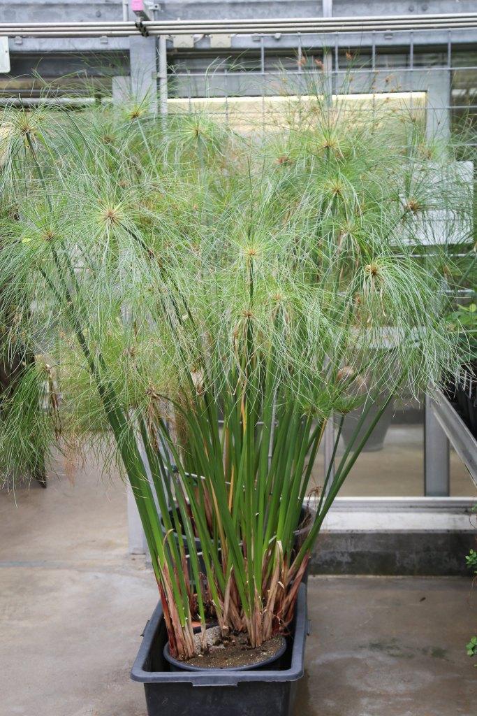Plante de papyrus