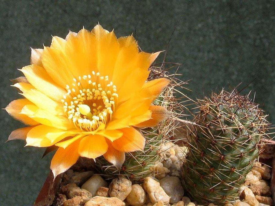 Cactus d'einstein, piquant, avec une fleur orange.