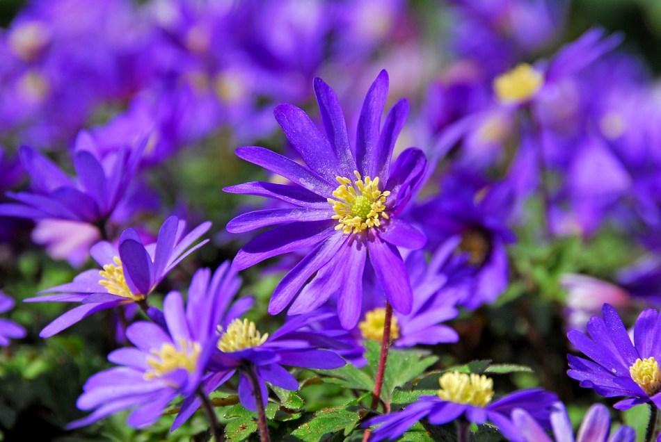 Anémones de Grèce à fleurs violettes