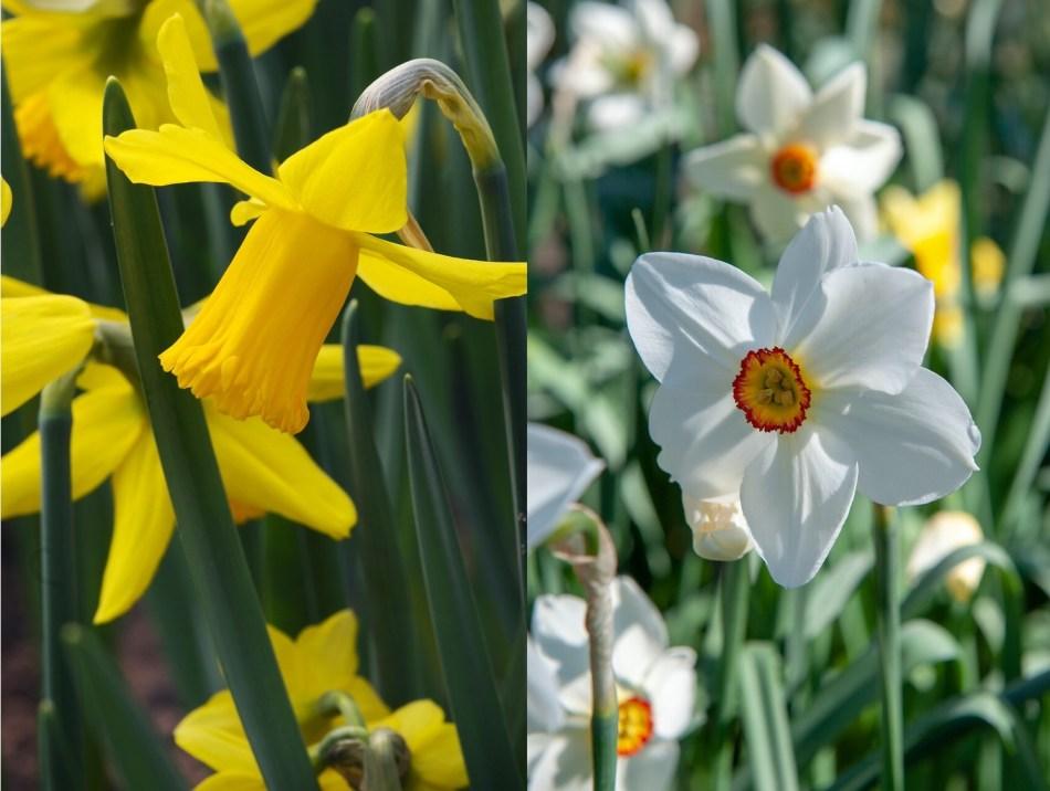 Deux narcisses: un narcisse trompette jaune et un narcisse blanc à petite couronne rouge.