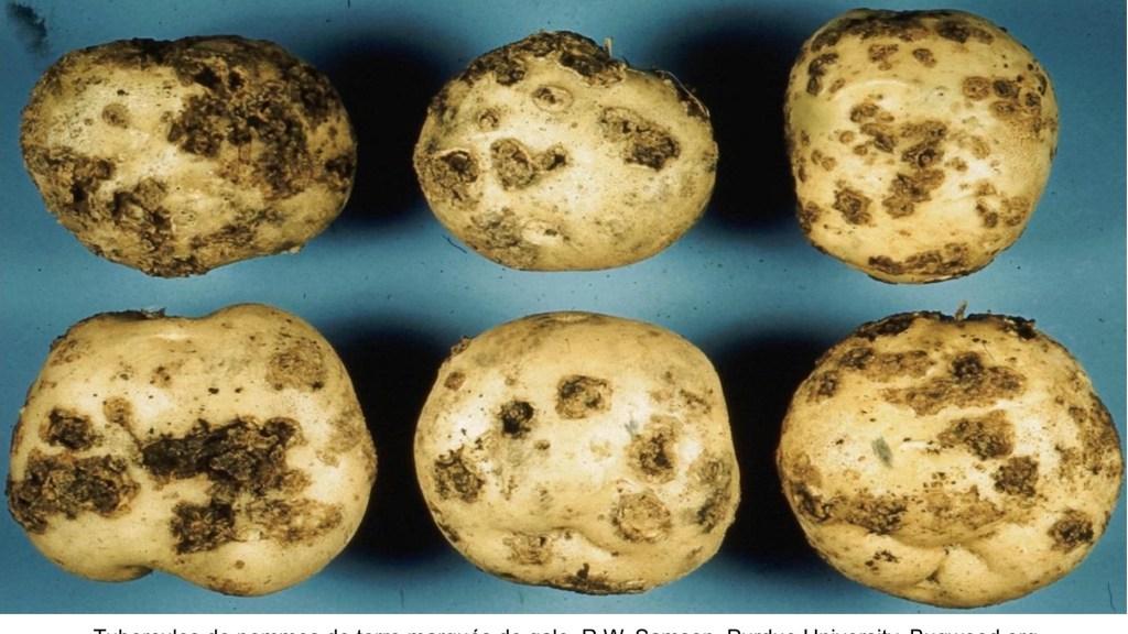 Tubercules de pommes de terre marqués de gale.