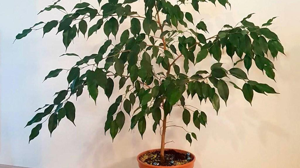 Ficus benjamina in pot