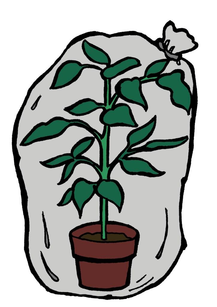 Ficus benjamina dans un sac de plastique.
