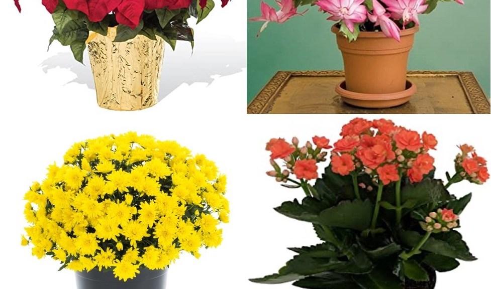 Quatre plantes qui ont besoin de jours courts pour fleurir.