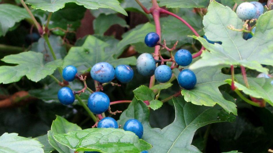 vigne vierge à fruit bleus