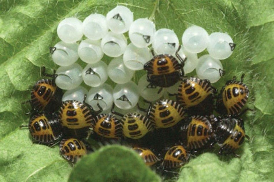 Nymphes de punaise sortant des œufs.
