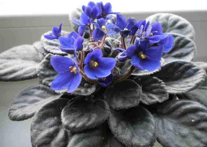 Bouture de violette africaine  Jardinier paresseux