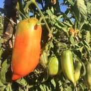 tomates-cornue-des-andes