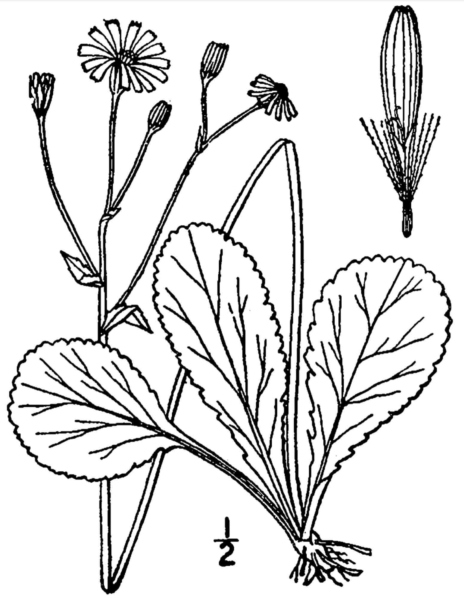 Senecio obovatus – Squaw Weed