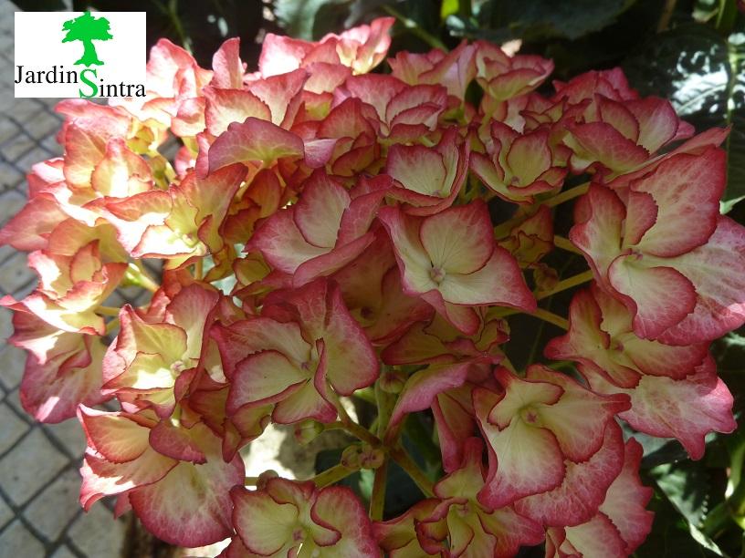 Hortênsias (Hydrangea)