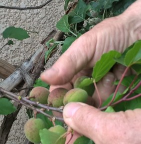 Abricot-pendant