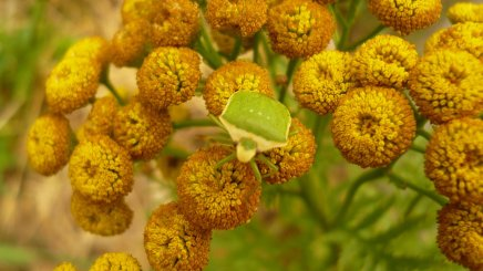 punaise sur les fleurs de tanaisie
