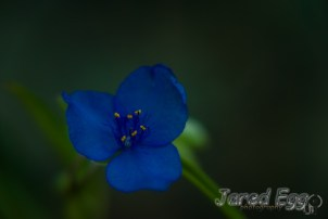small blue blossom