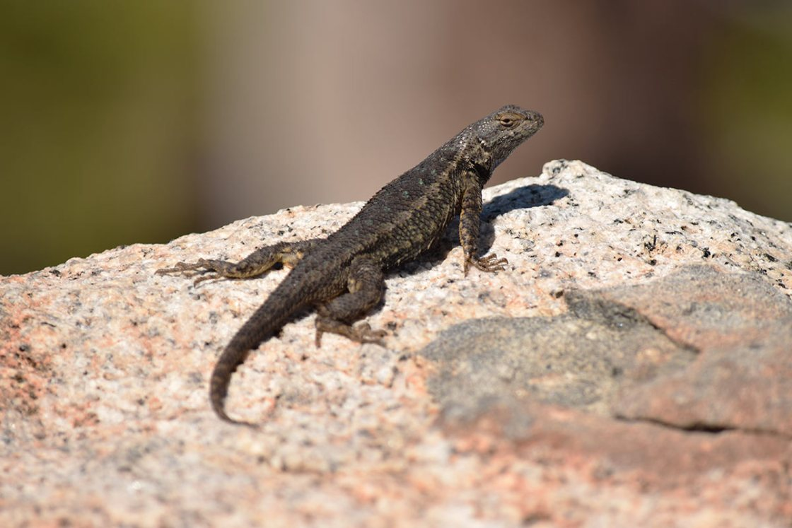 Western Fence Lizard on a granite boulder