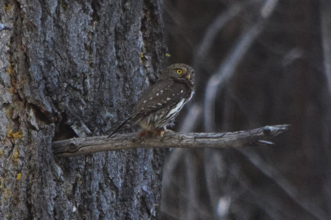 Northern-Pygmy Owl perched on a tree branch