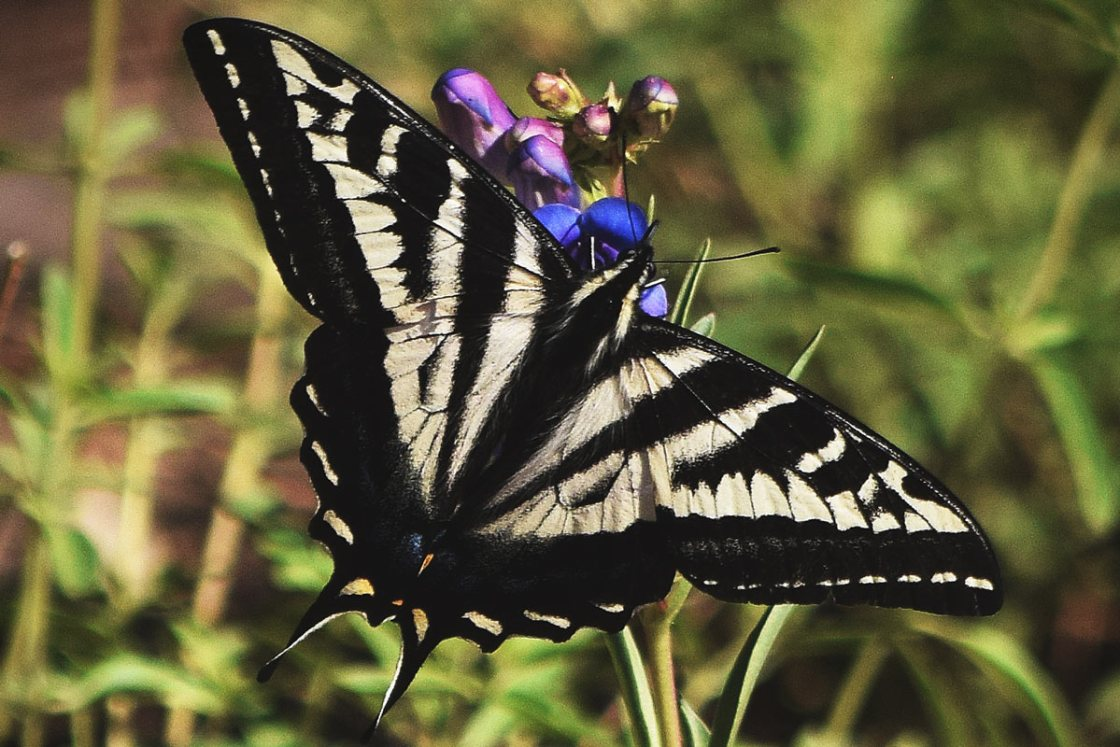 Pale Swallowtail feeding on a wildflower