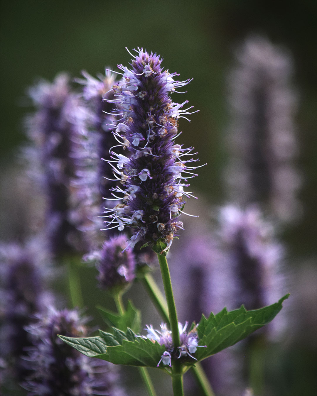 Nettle-leaf Giant Hyssop