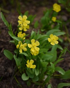 Plantainleaf Buttercup