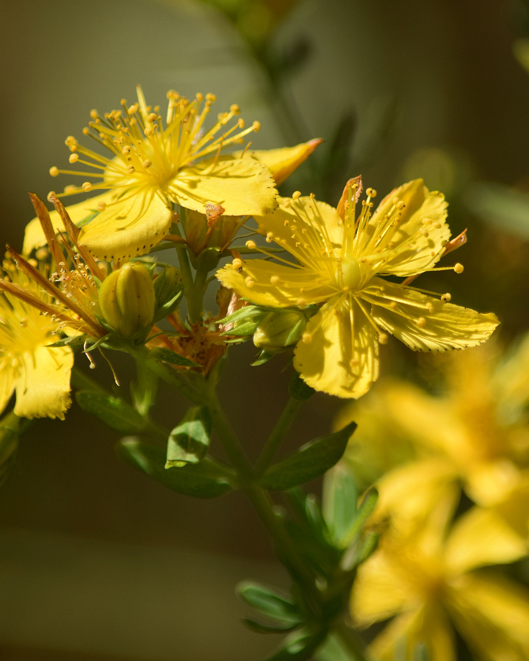 Common St. Johns-Wort