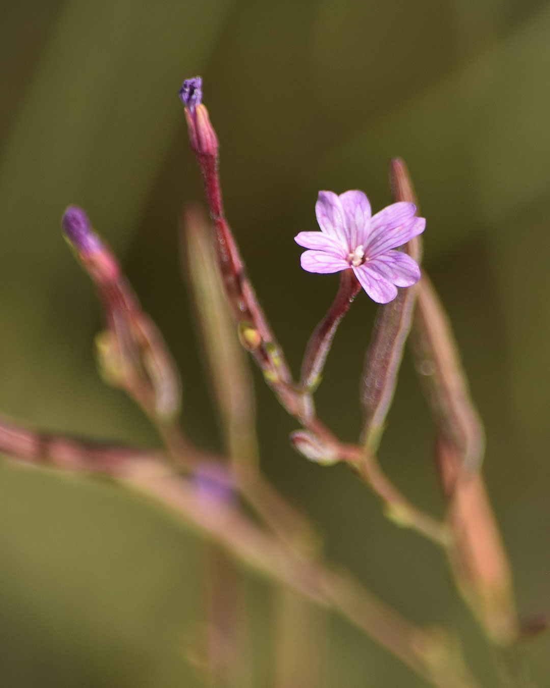 Panicled Willowherb