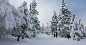 Snow-flocked trees along a cross-country ski trail