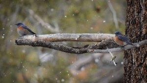 Western Bluebirds (Sialia mexicana)