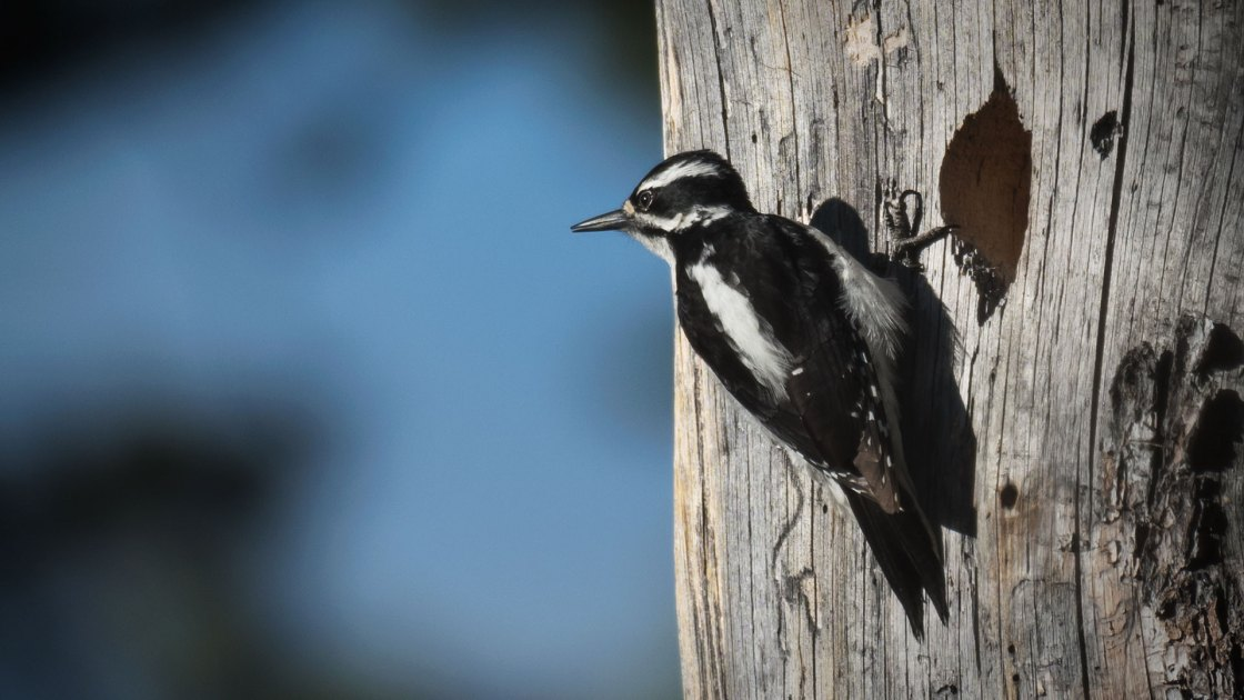 Hairy Woodpecker (Dryobates villosus, female)