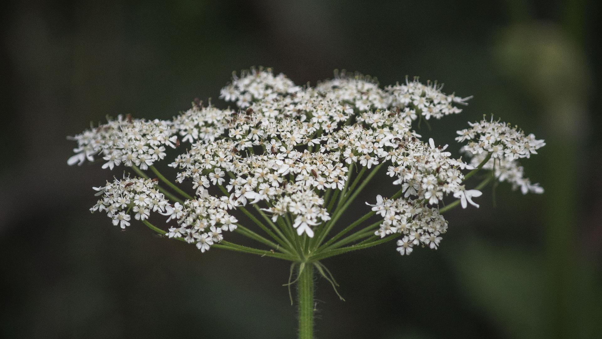 Common Cowparsnip (Heracleum maximum)
