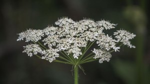 Common Cowparsnip (Heracleum maximum)