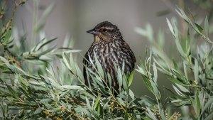 Red-winged Blackbird (female) - Agelaius phoeniceus
