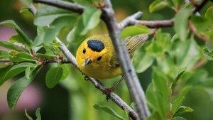 Wilson's Warbler - Cardellina pusilla