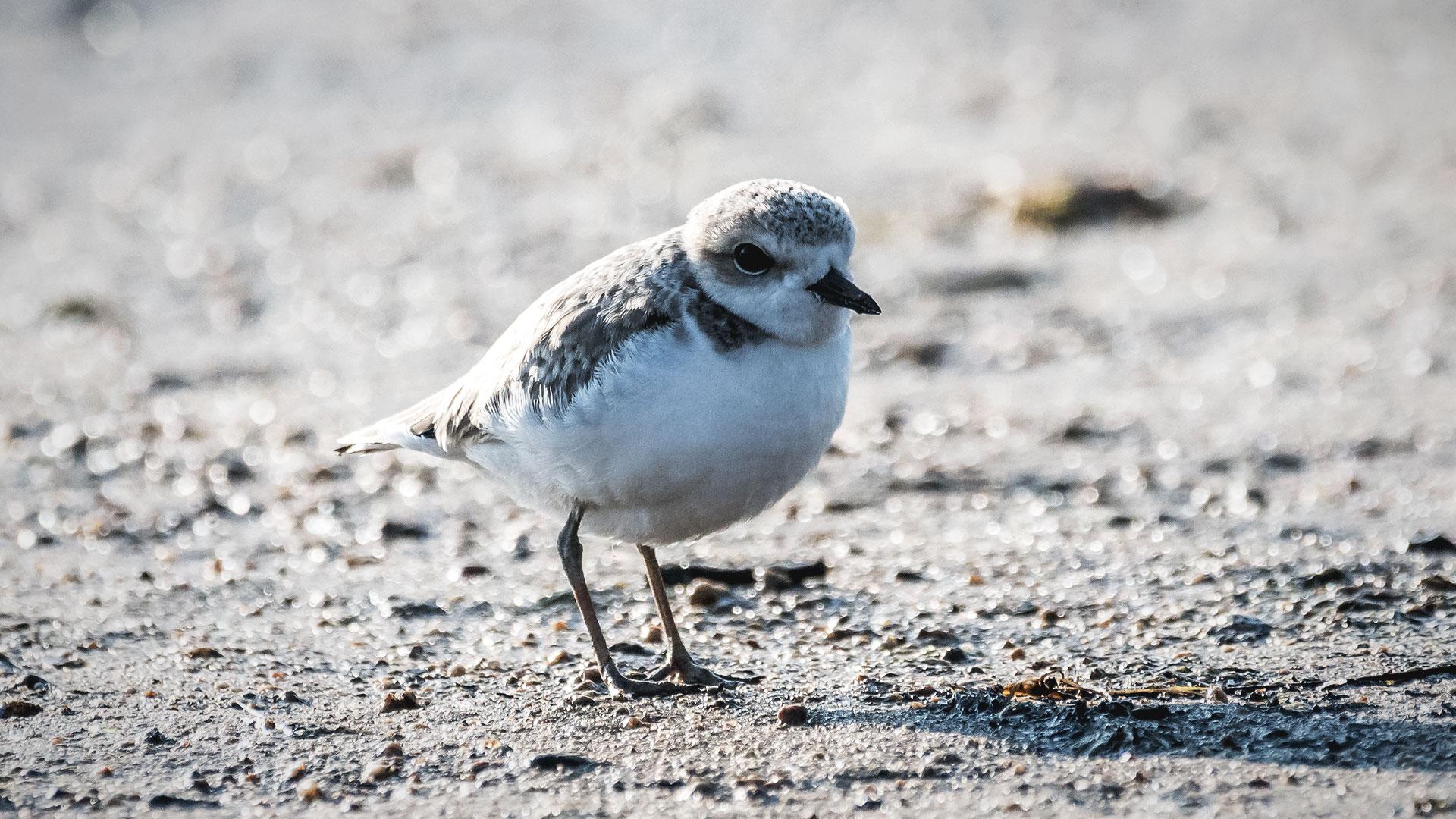 Snowy Plover - Charadrius nivosus