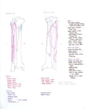 16-tibia-and-fibula