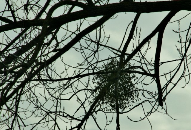 Mistletoe is a parasite that grows in the trees