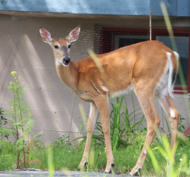 Deer are thriving on residential gardens.