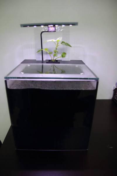 裝水後,在培養槽插了一株薄荷。