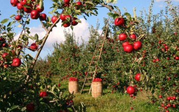 My Grandmother's Orchard
