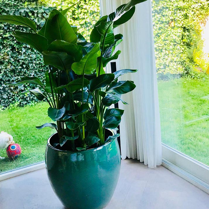 Jasmijnbloembinders - Planten