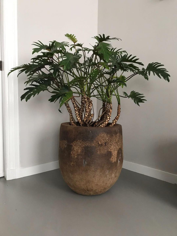 jasmijnbloembinders - Philodendron xanadu plant