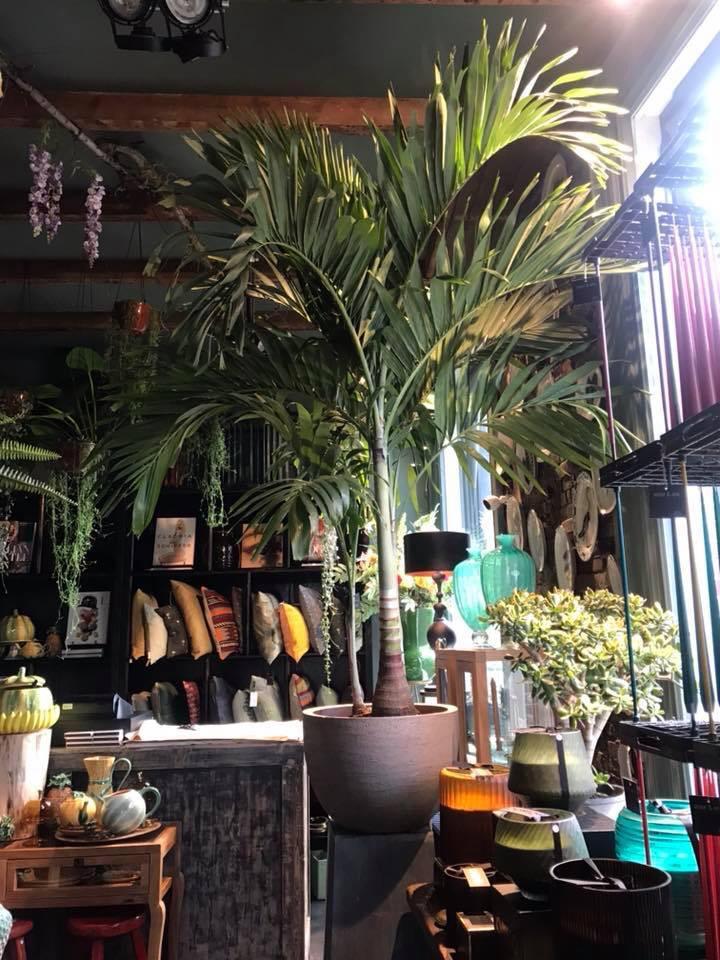 Jasmijnbloembinders - Veichia palm