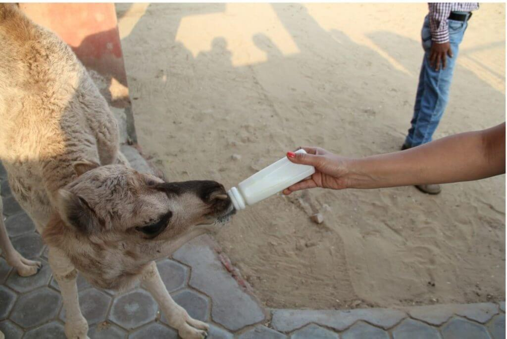 Bottle feeding a camel baby. National Research Center on Camel at Bikaner in Rajasthan.