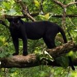 Black Panther Nagarahole National Park South India