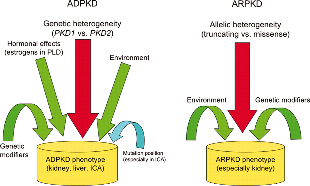 small resolution of genotype phenotype correlations in autosomal dominant and autosomal recessive polycystic kidney disease