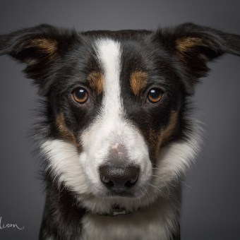 Portrait of a working Sheepdog