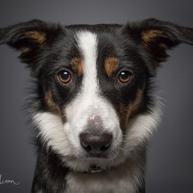 Portrait of a working Sheepdog