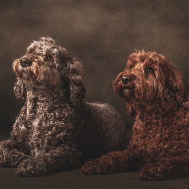 Molly & Eric The Australian Labradoodles