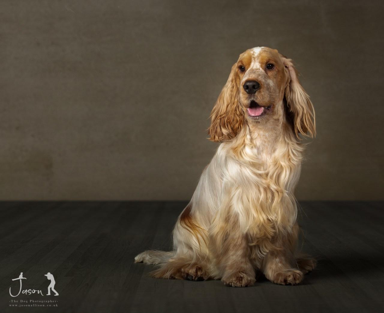 Ted the English Cocker Spaniel portrait by Jason Allison Dog Photography