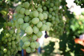 grapes-0806